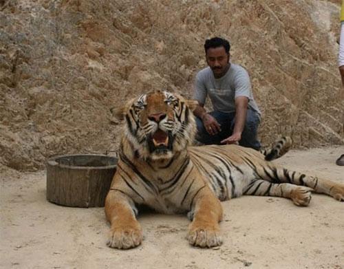 Тигры не любят слишком высоких и слишком низких и детей, поэтому нельзя вставать на камни или садиться на корточки рядом с тигром.
